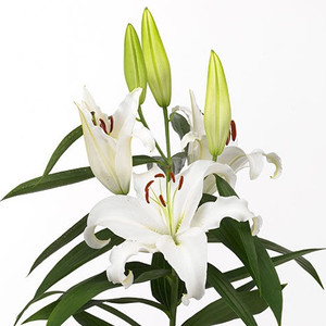 Белая лилия