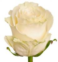Белая эквадорская роза 90-100 см