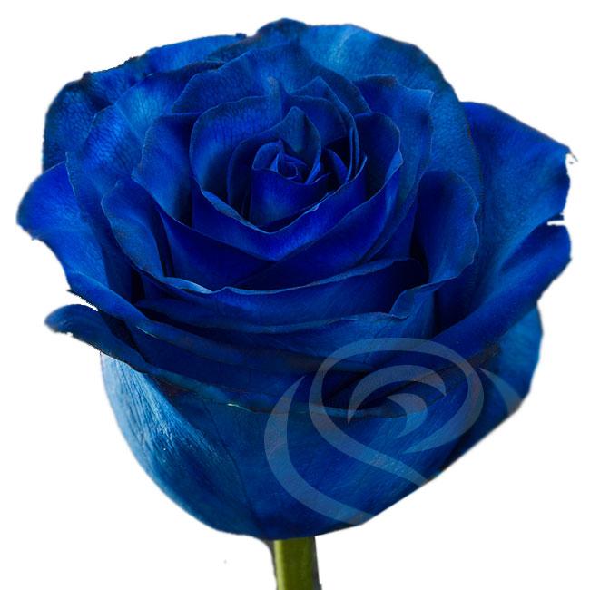 Синяя роза поштучно