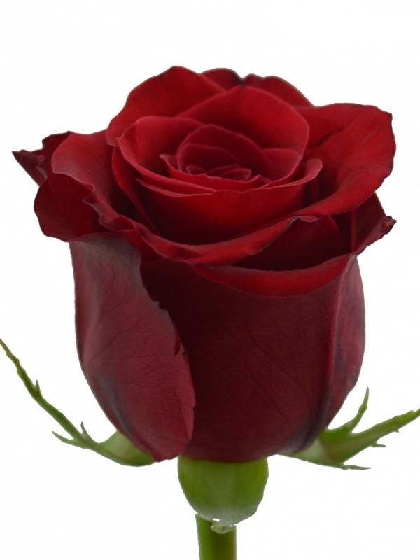 Красная эквадорская  роза 90-100 см